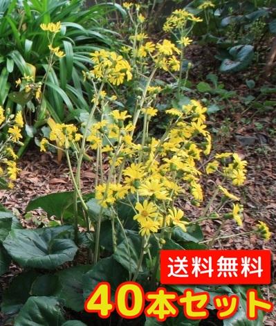 ツワブキ【40本セット】/10.5cmポット【送料無料】//