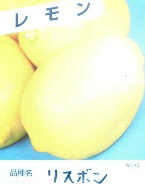 ↑【送料無料】セット商品も販売中。↑※当店は北海道、沖縄県への発送は行っていません、予めご了承願います。 レモン・リスボン 樹高0.5m前後 15cmポット 【15本セット】 【T1送料無料】 れもん 檸檬 販売 苗 植木 苗木 庭木    木 果樹 果樹苗 果樹園用
