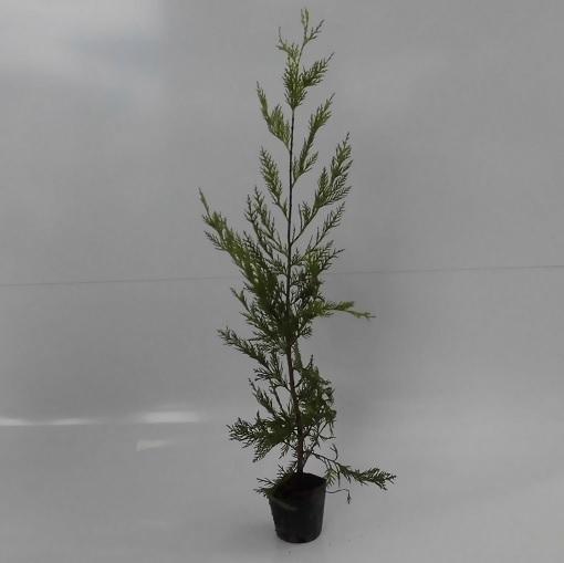 レイランディー 【50本セット】 樹高0.5m前後 10.5cmポット 【送料無料】 コニファー レイランディー