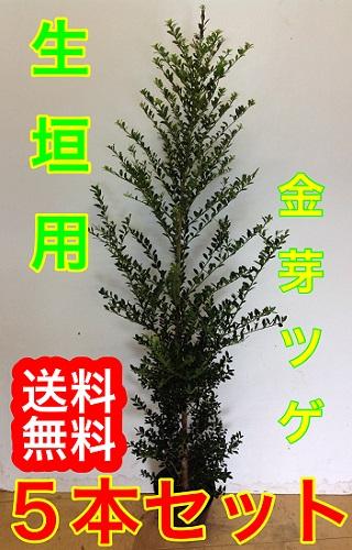 キンメツゲ【20本セット】樹高1.0m前後15cmポット【M送料無料】(金芽ツゲ)生垣