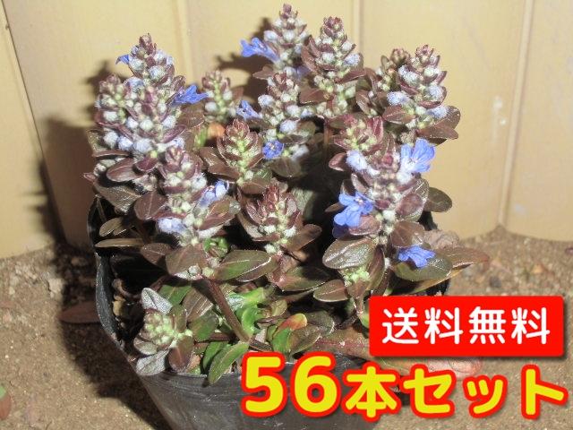 アジュガ・チョコレートチップ 【56本セット】 / 9cmポット 【送料無料】 / /
