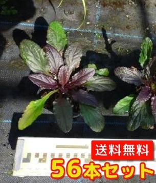 アジュガ【56本セット】/9cmポット【送料無料】//