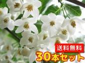 エゴノキ【30本セット】樹高0.5m前後10.5cmポット【送料無料】白い清楚な花が、枝いっぱいに咲く木/