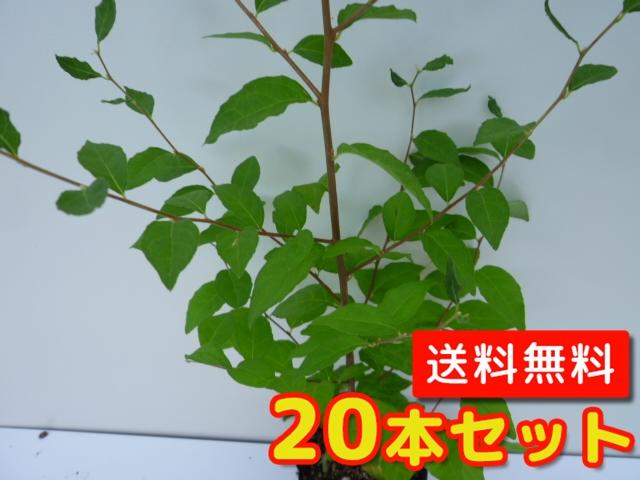 エノキ 【20本セット】 樹高1.0m前後 12cmポット 【M送料無料】 / /