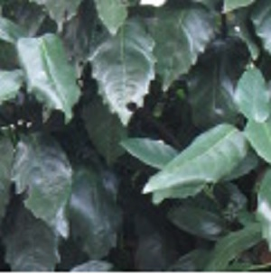 アオキ(アオアオキ・クロアオキ) 樹高0.4m前後 15cmポット 【15本セット】 【T1送料無料】 あおき(あおあおき・くろあおき)  販売 苗 植木 苗木 庭木 垣根 生垣 生け垣 生垣用  目隠し 木