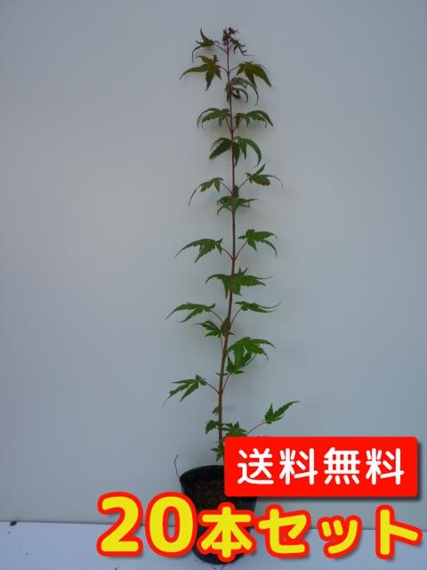イロハモミジ【20本セット】樹高1.0m前後12cmポット【M送料無料】秋の紅葉がきれいです。/