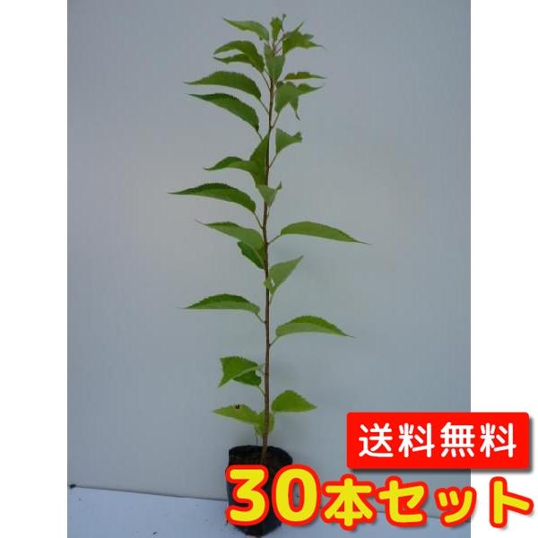 オオシマザクラ 【30本セット】 樹高0.4m前後 10.5cmポット 【送料無料】 :サクラ・さくら・桜 /