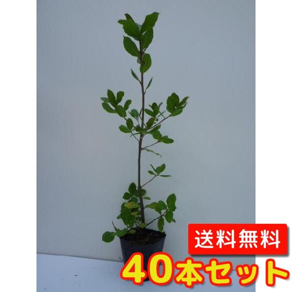 ウバメガシ【40本セット】樹高0.5m前後10.5cmポット【送料無料】生垣/