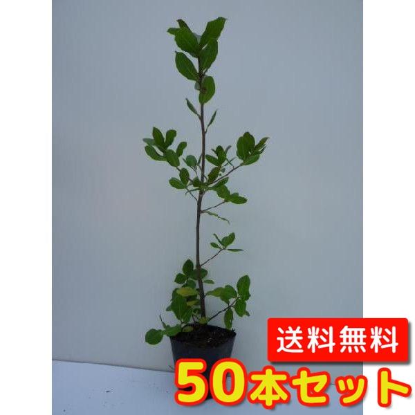 ウバメガシ【50本セット】樹高0.5m前後10.5cmポット【M送料無料】生垣/