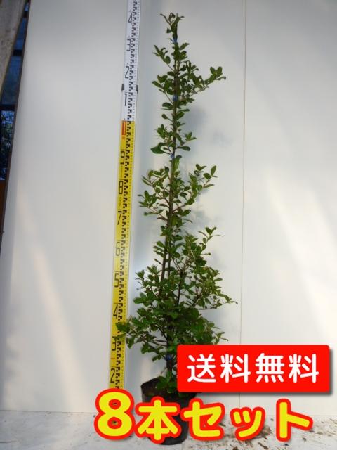ウバメガシ【8本セット】樹高1.2m前後18cmポット【M送料無料】生垣/