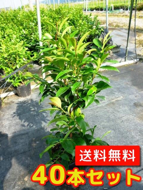 ヒサカキ【40本セット】樹高0.3m前後10.5cmポット【送料無料】//