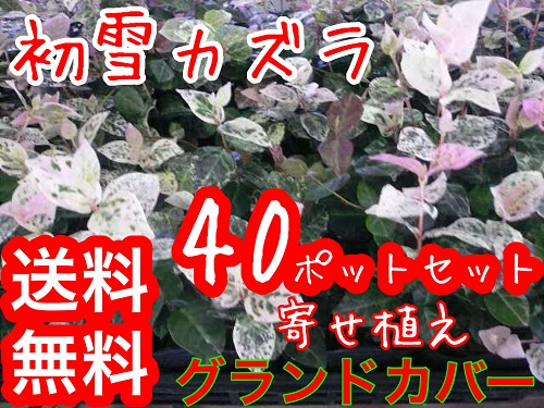 ハツユキカズラ【40本セット】/9cmポット【送料無料】初雪カズラハツユキカヅラ苗