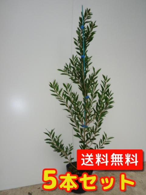 カリステモン【5本セット】樹高1.2m前後18cmポット【M送料無料】金宝樹(ブラシノキ)/