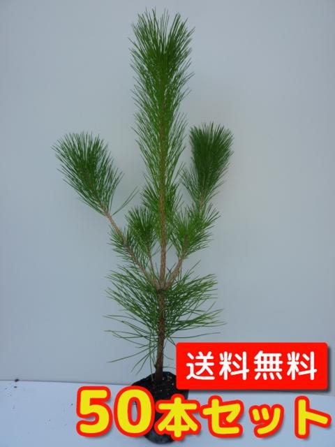 クロマツ 【50本セット】 樹高0.25m前後 10.5cmポット 【M送料無料】 黒松 /