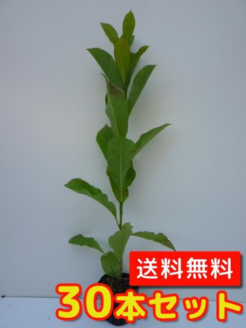 コブシ【30本セット】樹高0.5m前後10.5cmポット【送料無料】//