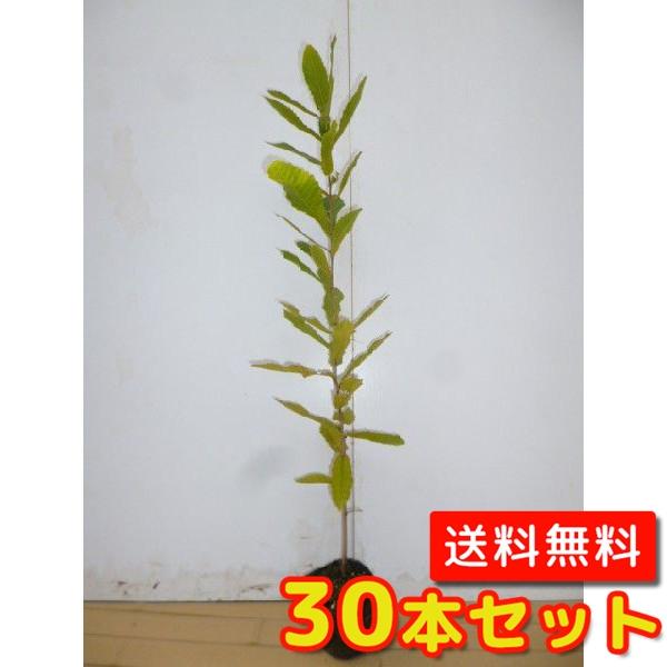 クヌギ 【30本セット】 樹高0.4m前後 10.5cmポット 【送料無料】 / /
