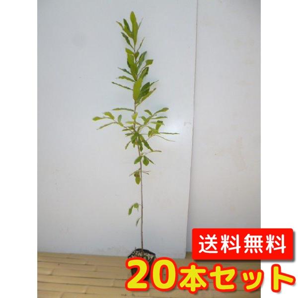 クヌギ 【20本セット】 樹高0.8m前後 10.5cmポット 【M送料無料】 / /