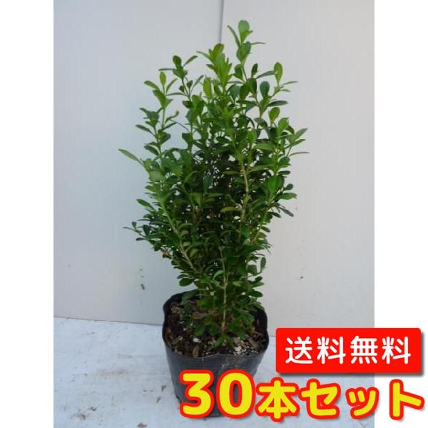 クサツゲ 【30本セット】 樹高0.15m前後 12cmポット 【送料無料】 低い生垣に /
