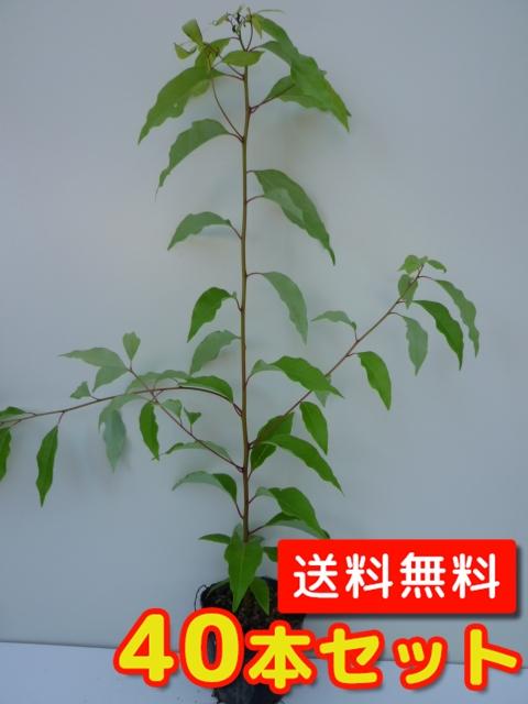 クスノキ【40本セット】樹高0.5m前後10.5cmポット【送料無料】//