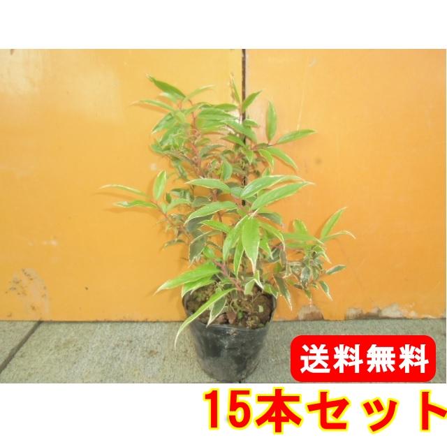 セール特価 セイヨウイワナンテン・ルコテー ホワイトウォーター【15本セット】樹高0.3m前後15cmポット【送料無料】大苗。立ち性ガーデニングに♪植え替え・寄せかご・寄せ植えなどに♪/, ハシモトシ:17712b9d --- supercanaltv.zonalivresh.dominiotemporario.com