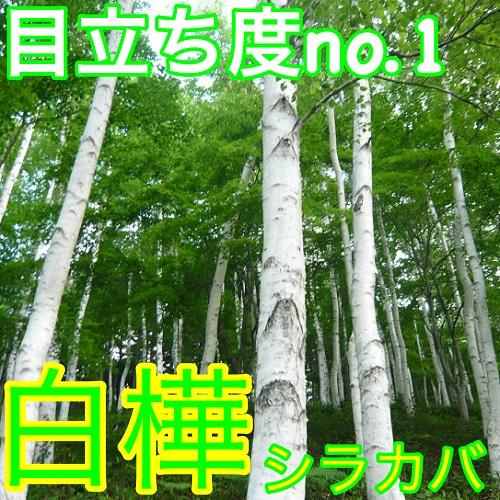 シラカバ・ジャクモンティー 【8本セット】 樹高1.2m前後 15cmポット 【M送料無料】 白樺 ジャクモンティー
