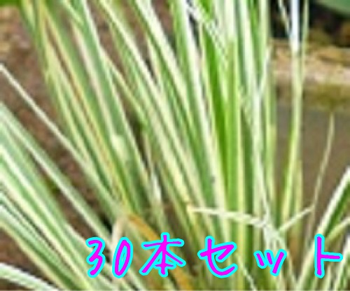 フイリセキショウ / 10.5cmポット 【30本セット】 【T1送料無料】 ふいりせきしょう 斑入り石菖 斑入りセキショウ 販売 苗 植木 苗木 庭木 グランドカバー 下草 寄せ植え 低木