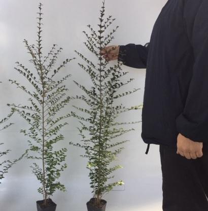 プリペット 【30本セット】 樹高0.8m前後 10.5cmポット 【送料無料】 プリベット生垣 庭の生垣や寄せ植えに