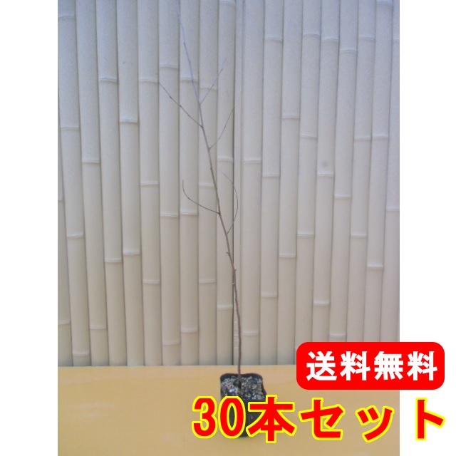 ムクノキ【30本セット】樹高0.5m前後10.5cmポット【送料無料】//
