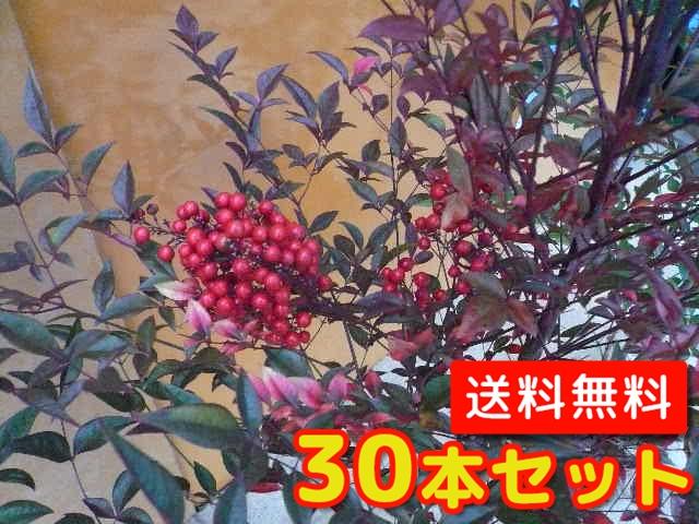ナンテン【30本セット】樹高0.3m前後12cmポット【送料無料】南天:赤実縁起の良い木とされ、鬼門または裏鬼門に植えると良い/