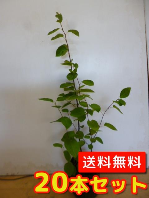ジューンベリー【20本セット】樹高0.6m前後15cmポット【送料無料】春に白い花が咲き、大きくなると6月ごろ実がなります。/