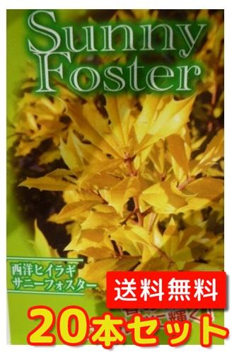 サニーフォスター【20本セット】樹高0.3m前後15cmポット【送料無料】黄色の葉がきれい/