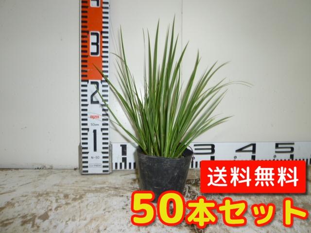セキショウ【50本セット】樹高0.2m前後10.5cmポット【送料無料】//
