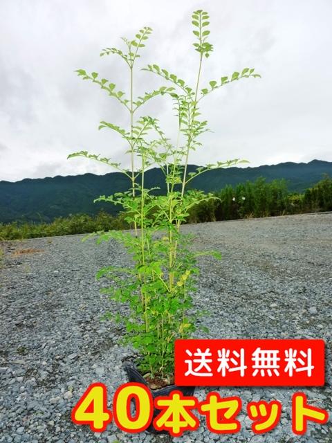 シマトネリコ【40本セット】樹高0.5m前後10.5cmポット【送料無料】株立ち/
