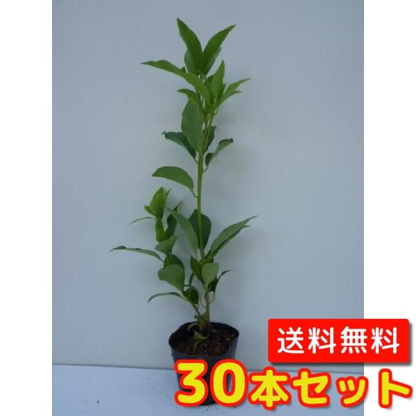 シキミ 【30本セット】 樹高0.3m前後 10.5cmポット 【送料無料】 / /