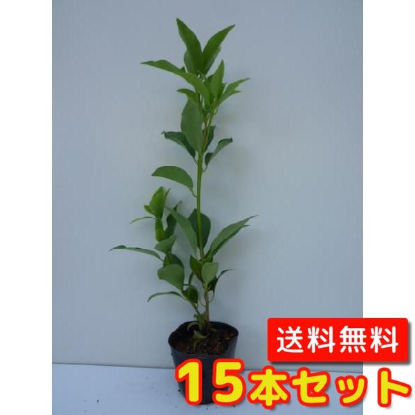 シキミ 【15本セット】 樹高0.3m前後 15cmポット 【送料無料】 大 /