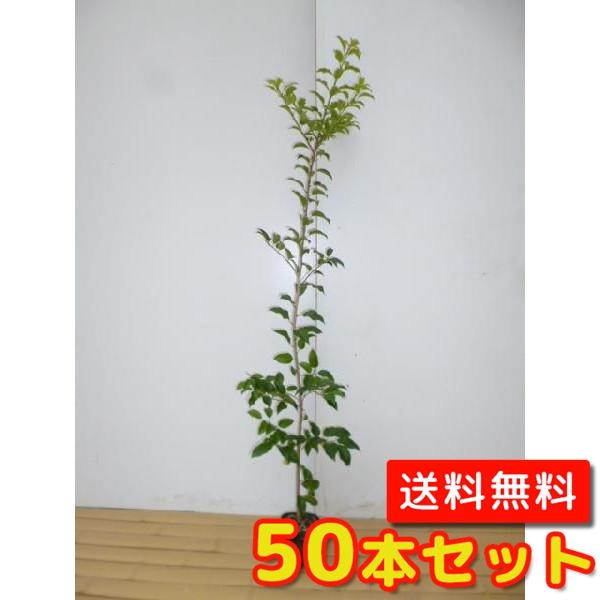 ソヨゴ 【50本セット】 樹高0.5m前後 10.5cmポット 【M送料無料】 / /