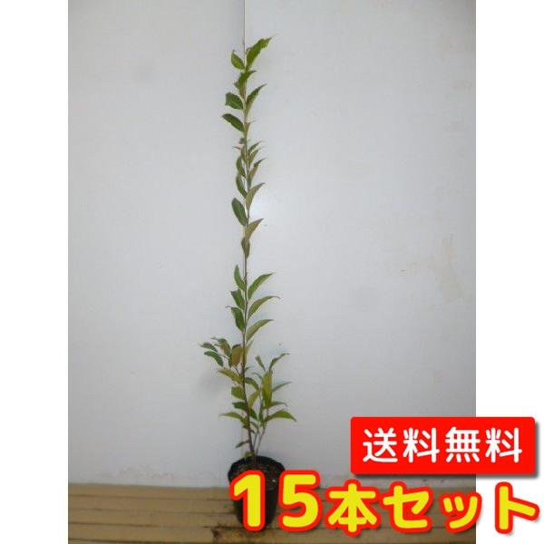 スダジイ【15本セット】樹高1.0m前後15cmポット【M送料無料】//