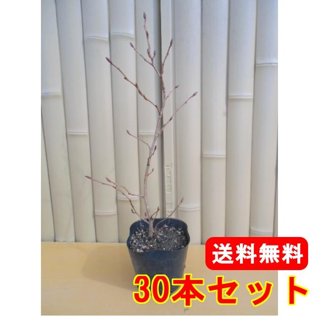 ヤシャブシ【30本セット】樹高0.5m前後10.5cmポット【送料無料】//