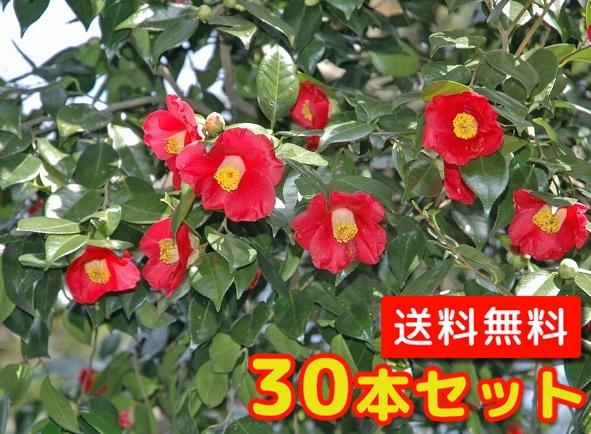 ヤブツバキ【30本セット】樹高0.5m前後10.5cmポット【送料無料】//