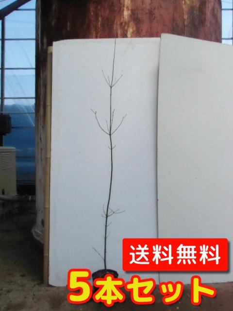 ヤマボウシ【5本セット】樹高1.5m前後18cmポット【L送料無料】//