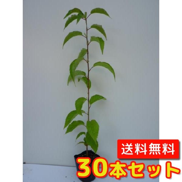 ヤマザクラ【30本セット】樹高0.5m前後10.5cmポット【送料無料】山桜:サクラ・さくら・桜
