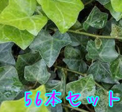 【T1送料無料】 苗 グランドカバー ヘデラ・ヘリックス 下草 寄せ植え 植木 苗木 へでら・へりっくす アイビー 【56本セット】 ヘデラヘリックス 低木 庭木 販売 9cmポット 長さ25cm前後