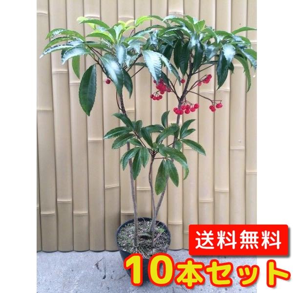 マンリョウ【10本セット】樹高0.3m前後15cmポット【送料無料】万両/