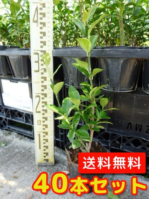 マサキ 【40本セット】 樹高0.5m前後 10.5cmポット 【送料無料】 / /