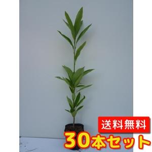 マテバシイ【30本セット】樹高0.5m前後10.5cmポット【送料無料】ドングリが生る木生垣