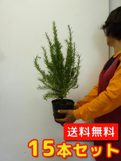 ローズマリー【15本セット】樹高0.2m前後15cmポット【送料無料】大苗。立ち性ガーデニングに♪植え替え・寄せかご・寄せ植えなどに♪/