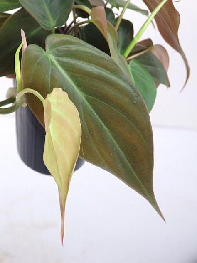 ※ビロードタッチのブロンズ色の葉が綺麗! フィロデンドロン /ビロードカズラ /スタン(アンドレアヌム)(2.5号)