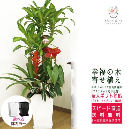観葉植物 寄せ植え(幸福の木)9号角陶器鉢(白黒) 高さ約1.25m 【yosem09-0012】大型 開店祝い 新築祝い 誕生日プレゼント 引越し祝い インテリア おしゃれな植木鉢 送料無料