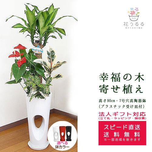 観葉植物 寄せ植え(幸福の木)7号穴高陶器鉢(白赤黒) 高さ約1.1m 【yosem07-00123 】開店祝い 新築祝い 誕生日プレゼント 引越し祝い インテリア おしゃれな植木鉢 送料無料