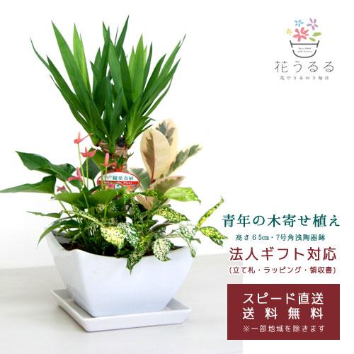 観葉植物 寄せ植え(ユッカ)7号角陶器鉢|(白黒) 高さ約1m 【kan-yosey-07-004005】開店祝い 新築祝い 誕生日プレゼント 引越祝い インテリア おしゃれな植木鉢 送料無料